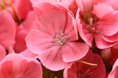Macro of pink sweet william blooms Stock Photos