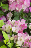 Macro Pink and White Bougainvillea Royalty Free Stock Photos