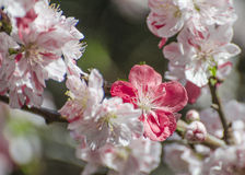 Macro of pink and white flowering peach Royalty Free Stock Photography