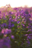 Macro pink wild flowers Royalty Free Stock Photo