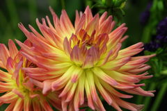 Macro of Pink & Yellow Blooming Dahlias Royalty Free Stock Photo