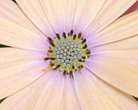 Macro of Pink and yellow daisies Royalty Free Stock Photography