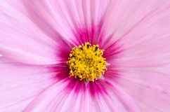 Macro of pink and yellow flower. Top view Royalty Free Stock Photos