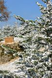Macro pino di Snowy Immagine Stock