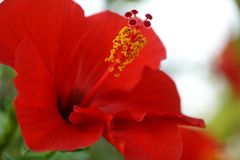 The pistil and petal of red hibiscus. The macro of pistil and petal of red hibiscus royalty free stock photos