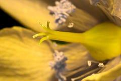Macro pistil of yellow flower in sunlight Royalty Free Stock Photo
