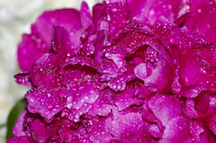 Macro pivoine rouge dans les baisses de la rosée Photos stock