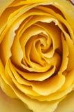 Macro plan rapproché d'une rose en pastel crémeuse jaune intense images libres de droits