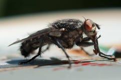 Macro plan rapproché de mouche noire images libres de droits