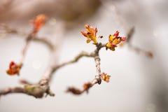 Macro plan rapproché des bourgeons et des feuilles de printemps rouge sur le fond neutre Photos libres de droits