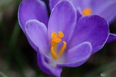 Macro plan rapproché des pétales de la fleur pourpre de crocus Image libre de droits