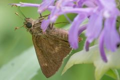 Macro plan rapproché extrême des espèces d'un papillon de capitaine en Theodore Wirth Park au Minnesota photographie stock