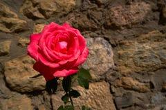 Macro plan rapproché rose rouge sur le fond de mur en pierre photographie stock