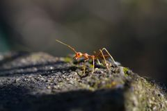 Macro plan rapproché tiré d'une fourmi de tisserand Images libres de droits