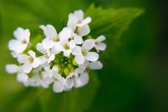 Macro plan rapproch? de la fleur medicative d'herbe - petiolata d'Alliaria de moutarde d'ail sur le fond vert trouble photos libres de droits