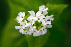 Macro plan rapproch? de la fleur medicative d'herbe - petiolata d'Alliaria de moutarde d'ail sur le fond vert trouble photos stock