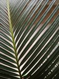 Macro of plant cycas. Leaf tropical tree palm cycas revoluta closeup Royalty Free Stock Image