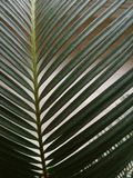 Macro of plant cycas. Leaf tropical tree palm cycas revoluta closeup Stock Photos