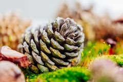 Macro plant and pine cone Royalty Free Stock Photo