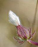 Macro of plant with white puff Royalty Free Stock Photography