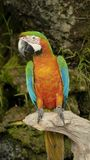 The beautiful macaw in the zoo. The Macro are playing with each other in intimacy Royalty Free Stock Image