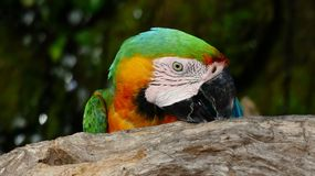 The beautiful macaw in the zoo. The Macro are playing with each other in intimacy Stock Images