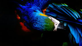 The beautiful macaw in the zoo. The Macro are playing with each other in intimacy Royalty Free Stock Images