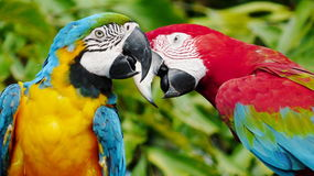 The beautiful macaw in the zoo. The Macro are playing with each other in intimacy Royalty Free Stock Photos