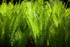 Macro Plenty Sword Fern Growing Stock Photography