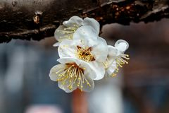 Macro plum blossom macro wider and brighter. A macro shot of a white plum blossom in late February in Japan. Plums are one of the first fruit trees to bloom in Stock Photo