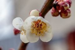 Macro of a plum blossom 2. A macro shot of a white plum blossom in late February in Japan. Plums are one of the first fruit trees to bloom in Japan, signaling royalty free stock photography