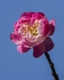 Macro plum Royalty Free Stock Photos