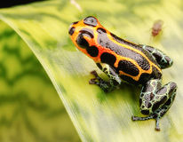 Macro poison arrow frog Royalty Free Stock Photography