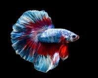 Macro poissons du Siam de red&blue Photo libre de droits