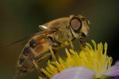 Macro polinizada abeja Fotos de archivo libres de regalías