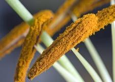 macro pollen de lis photographie stock libre de droits