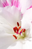 Macro of pollen on stamen. Red pollen on white soft petal stock photography