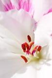 Macro of pollen on stamen Stock Photography