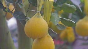 Macro pomelo maturo giallo su ordinazione vietnamita riferentesi sull'albero video d archivio