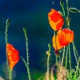 Macro poppies, close view stock photos