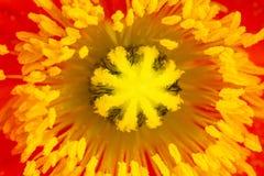 Macro of poppy flower stamen and pistil Royalty Free Stock Images