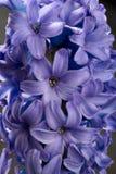 Macro porpora blu del primo piano del fiore del giacinto sul nero Fotografie Stock Libere da Diritti