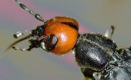 Macro portrait of beetle