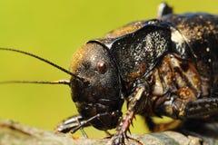 Macro portrait of big bellied cricket Stock Photography