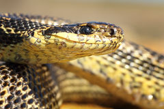 Macro portrait of a blotched snake Royalty Free Stock Photography