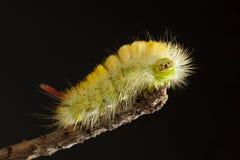 Yellow hairy caterpillar portrait. Macro portrait of colorful bushy butterfly larva Calliteara pudibunda sitting on branch top royalty free stock image