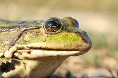 Macro portrait of common marsh frog Stock Images