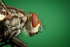 Macro portrait of domestic housefly Stock Images
