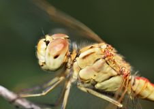 Macro portrait of a Dragonfly Royalty Free Stock Images