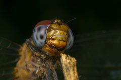 Macro portrait of a Dragonfly - stock photo Royalty Free Stock Photography